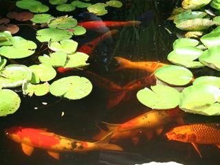 Fish backyard aquaponics for Ornamental pond fish types
